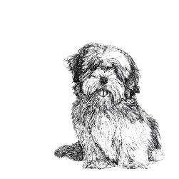 Lhasa Apso black and white, pen and ink, print by Louisa Hill Artist