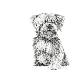 Maltese Terrier black and white, pen and ink, print by Louisa Hill Artist