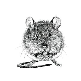 Mouse black and white, pen and ink, print by Louisa Hill Artist