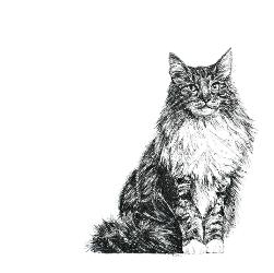 Norwegian Forrest Cat black and white, pen and ink, print by Louisa Hill Artist