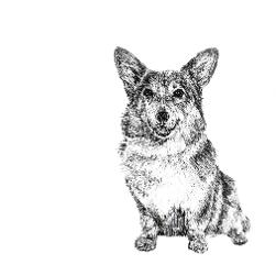 Pembroke Welsh Corgi black and white, pen and ink, print by Louisa Hill Artist