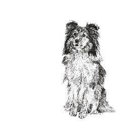 Shetland Sheepdog black and white, pen and ink, print by Louisa Hill Artist