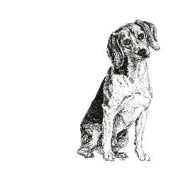 Beagle black and white, pen and ink, print by Louisa Hill Artist