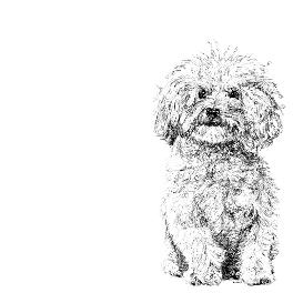 Bichon Frise black and white, pen and ink, print by Louisa Hill Artist