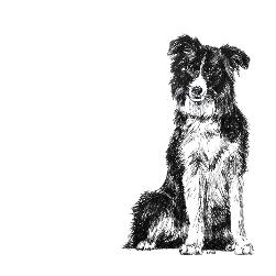 Border Collie black and white, pen and ink, print by Louisa Hill Artist