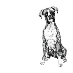 Boxer black and white, pen and ink, print by Louisa Hill Artist