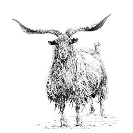 Cashmere Goat black and white, pen and ink, print by Louisa Hill Artist