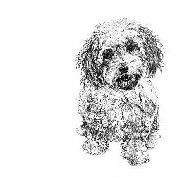 Cavachon black and white, pen and ink, print by Louisa Hill Artist