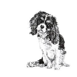 Cavalier King Charles Spaniel black and white, pen and ink, print by Louisa Hill Artist