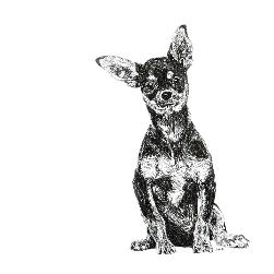 Chihuahua black and white, pen and ink, print by Louisa Hill Artist