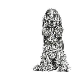 Cocker Spaniel black and white, pen and ink, print by Louisa Hill Artist