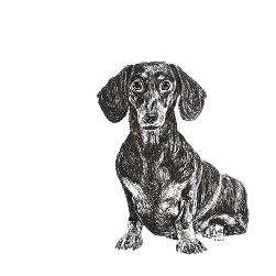 Dachshund black and white, pen and ink, print by Louisa Hill Artist