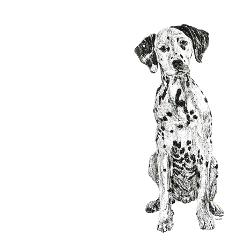 Dalmatian black and white, pen and ink, print by Louisa Hill Artist