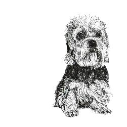 Dandie Dinmont Terrier black and white, pen and ink, print by Louisa Hill Artist