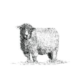 Devon & Cornwall Longwool Sheep black and white, pen and ink, print by Louisa Hill Artist