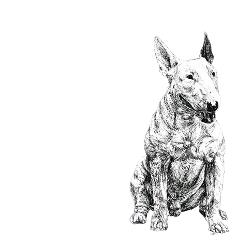 English Bull Terrier black and white, pen and ink, print by Louisa Hill Artist