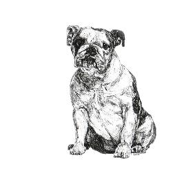 English Bulldog black and white, pen and ink, print by Louisa Hill Artist