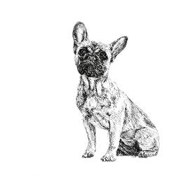 French Bulldog black and white, pen and ink, print by Louisa Hill Artist