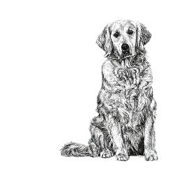 Golden Retriever black and white, pen and ink, print by Louisa Hill Artist