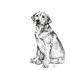 Labrador black and white, pen and ink, print by Louisa Hill Artist