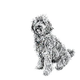 Labradoodle black and white, pen and ink, print by Louisa Hill Artist