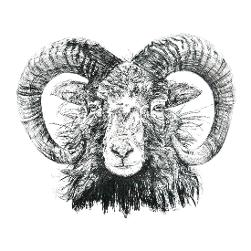 North Ronaldsay Sheep black and white, pen and ink, print by Louisa Hill Artist
