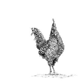 Plymouth Rock Chicken black and white, pen and ink, print by Louisa Hill Artist
