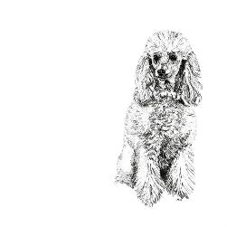 Poodle black and white, pen and ink, print by Louisa Hill Artist