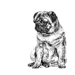 Pug black and white, pen and ink, print by Louisa Hill Artist