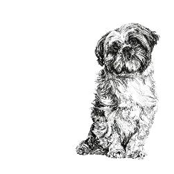 Shih Tzu black and white, pen and ink, print by Louisa Hill Artist