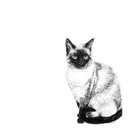 Siamese Cat black and white, pen and ink, print by Louisa Hill Artist