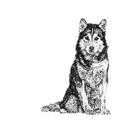 Siberian Husky black and white, pen and ink, print by Louisa Hill Artist