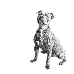 Staffordshire Bull Terrier Staffie black and white, pen and ink, print by Louisa Hill Artist