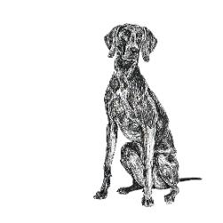 Weimaraner black and white, pen and ink, print by Louisa Hill Artist
