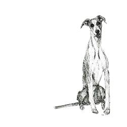 Whippet black and white, pen and ink, print by Louisa Hill Artist