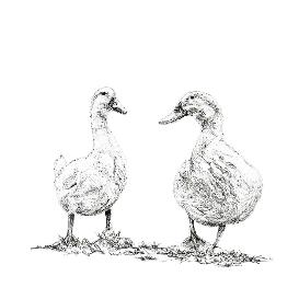 White Geese black and white, pen and ink, print by Louisa Hill Artist