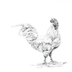 White Leghorn Chicken black and white, pen and ink, print by Louisa Hill Artist
