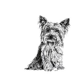 Yorkshire Terrier black and white, pen and ink, print by Louisa Hill Artist